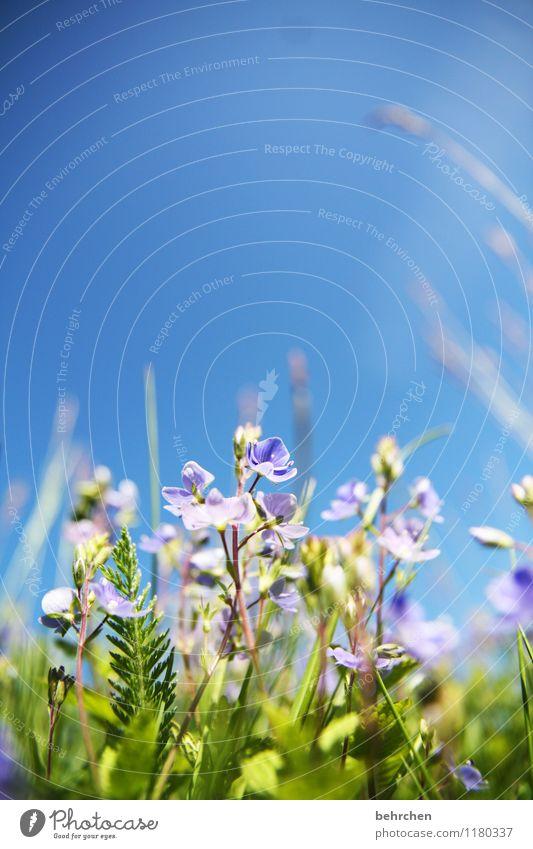 summerfeeling Natur Pflanze Himmel Wolkenloser Himmel Sommer Schönes Wetter Blume Gras Blatt Blüte Wildpflanze Veronica Garten Park Wiese Feld Blühend Duft