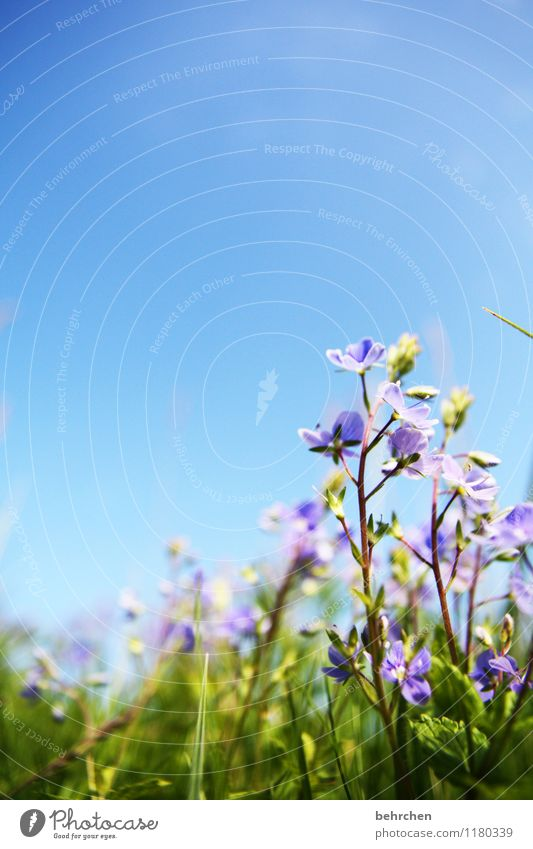 zart Umwelt Natur Pflanze Himmel Wolkenloser Himmel Frühling Sommer Herbst Schönes Wetter Blume Gras Veronica Garten Park Wiese Feld Blühend Wachstum Duft schön