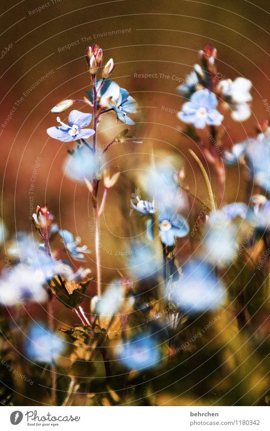 es ist schön, sich zu erinnern... Natur Pflanze blau Sommer Blume Blatt Wärme Blüte Frühling Wiese Gras klein Garten braun träumen