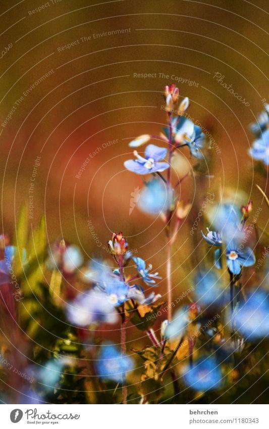 verwunschen Natur Pflanze blau schön Sommer Blume Blatt Frühling Wiese Gras klein Garten braun Park Wachstum Blühend