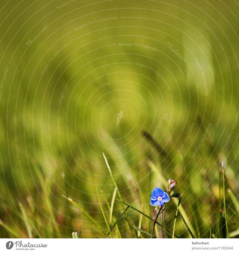einsam Natur Pflanze Frühling Sommer Schönes Wetter Blume Gras Blatt Blüte Wildpflanze Veronica Garten Park Wiese Blühend Duft verblüht Wachstum schön klein