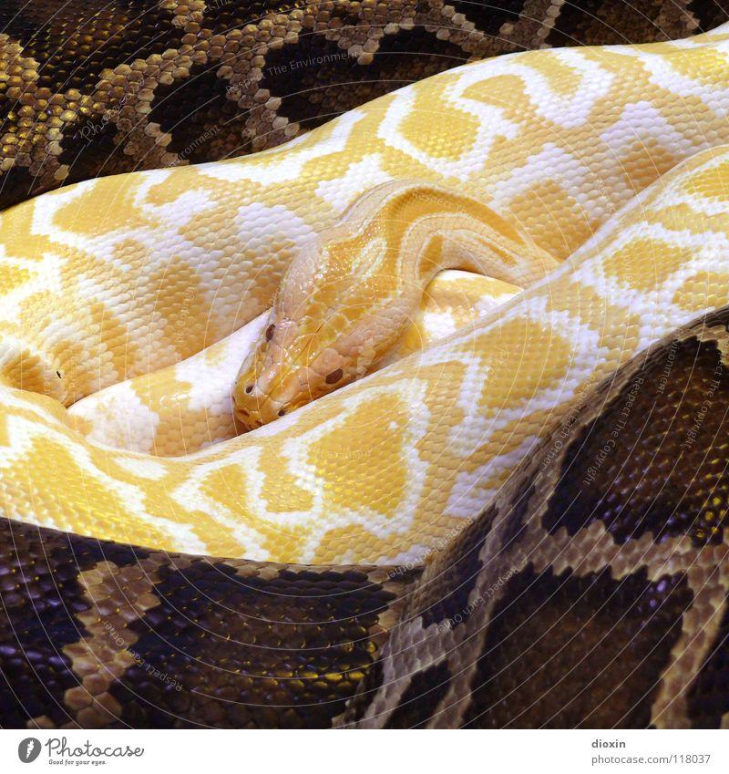 Python molurus - Albino (3) Farbfoto Innenaufnahme Muster Kunstlicht Kontrast Tierporträt Wärme Schlange 2 außergewöhnlich bedrohlich exotisch braun gelb