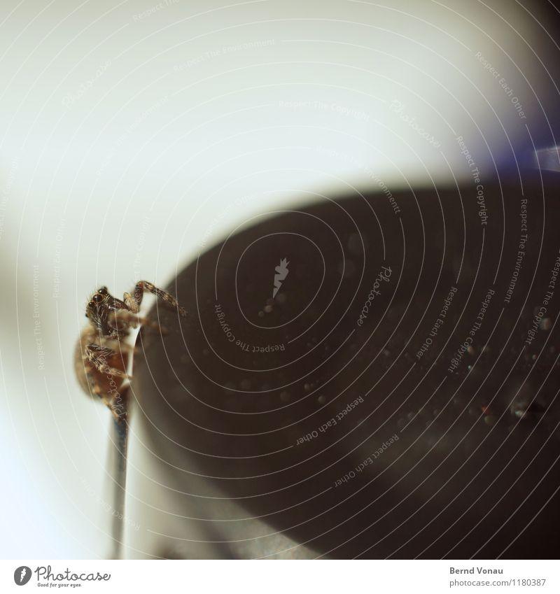 sprunghaft Tier Spinne 1 blau braun grau schwarz Springspinne Auge klein Eile Jagd Beine Am Rand rund Kurve nah niedlich Ekel Angst Blick Farbfoto Innenaufnahme