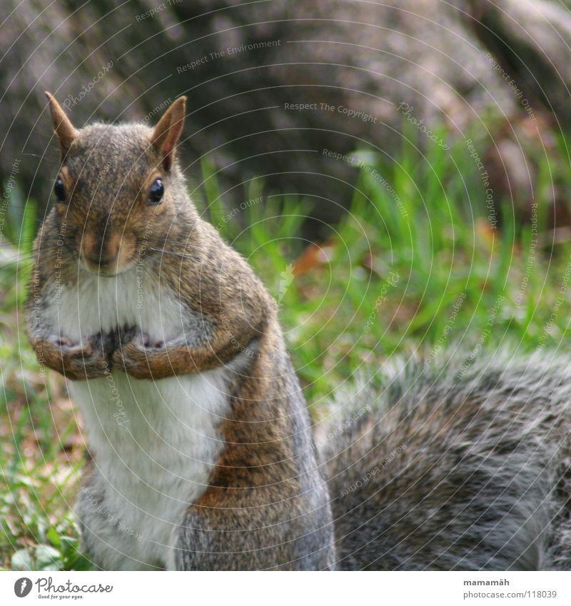 Lieblingstier: Eichhörnchen! Teil 1 Pfote buschig süß klein niedlich Baum Wiese Gras Toronto Park Geschwindigkeit braun Fell Nagetiere Säugetier squirrel