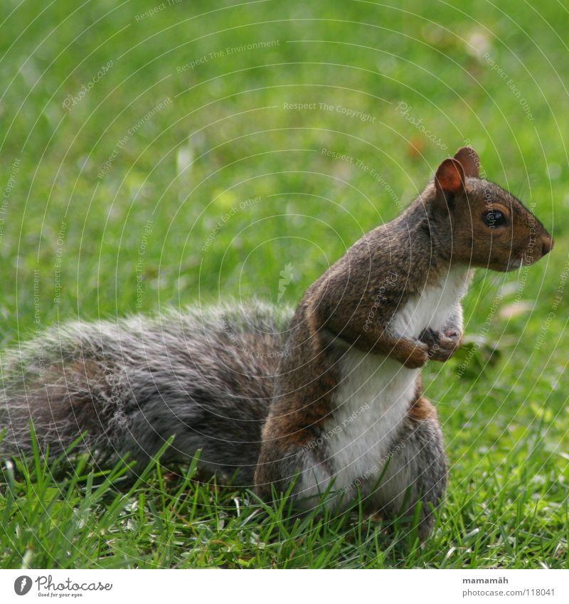 Lieblingstier: Eichhörnchen! Teil 2 Pfote buschig süß klein niedlich Baum Wiese Gras Toronto Park Geschwindigkeit braun Fell Nagetiere Säugetier squirrel