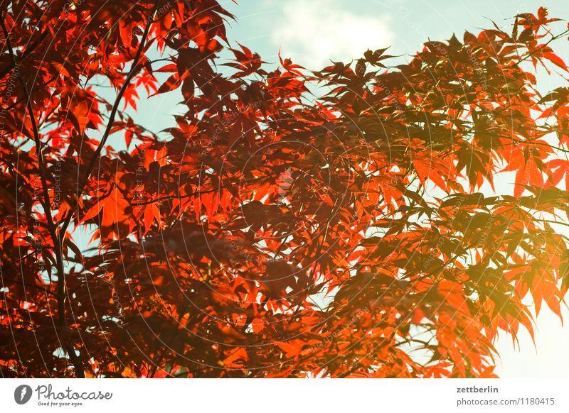 Rote Blätter Frühling Garten Natur Pflanze Schrebergarten Wachstum Baum Sträucher Ast Zweig Blatt Sonne Abendsonne Hintergrundbild Strukturen & Formen Muster