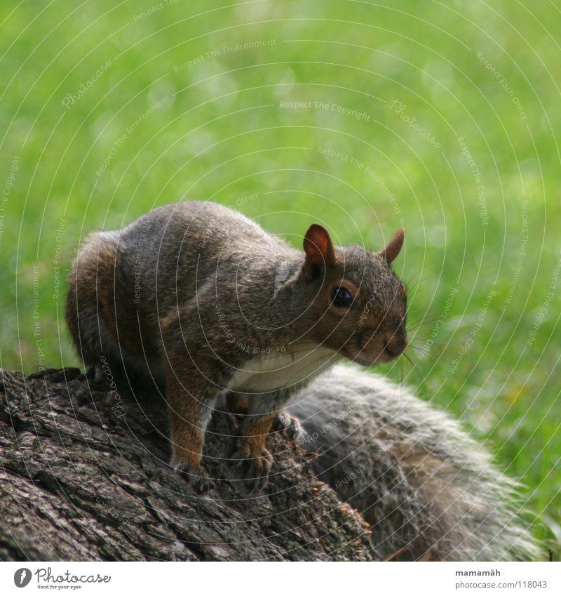Lieblingstier: Eichhörnchen! Teil 3 Pfote buschig süß klein niedlich Baum Wiese Gras Toronto Park Geschwindigkeit braun Fell Nagetiere Säugetier squirrel