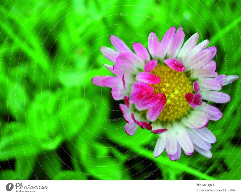 frühling! Gänseblümchen zusätzlich Blume Kontrast Wieße Blühend Natur Nahaufnahme
