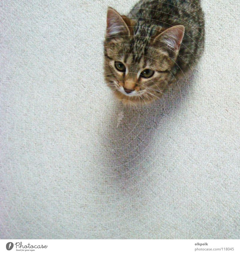 die kleine mit den großen ohren Katze Fell Teppich weiß Tigerfellmuster weich Schnauze gehorsam Vogelperspektive Säugetier Kitty Tigerkatze Ohr Schatten