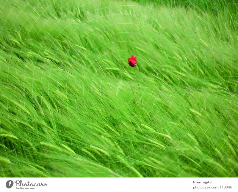 Mohnblume Natur rot Einsamkeit Wind Getreide