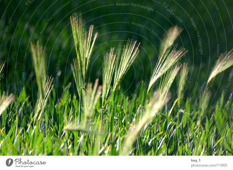 Grün ist das Feld grün Weizen Getreide Abend Amerika Pflanze evening corn field