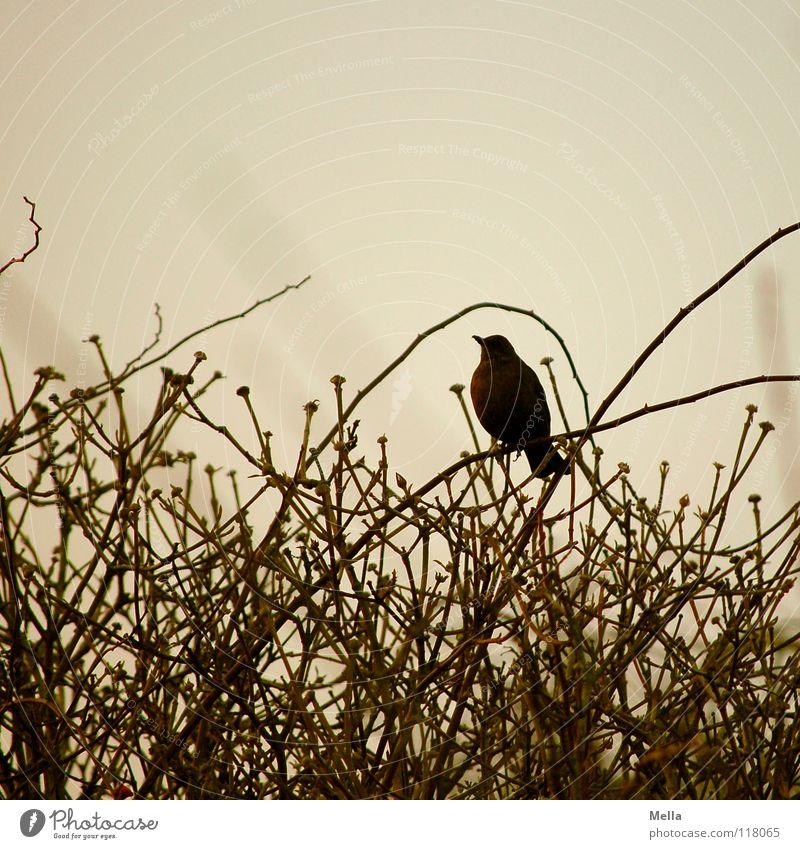 Amselwinter Winter Einsamkeit kalt grau braun Vogel sitzen leer trist Kommunizieren Sträucher Ast unten Zweig singen Bogen