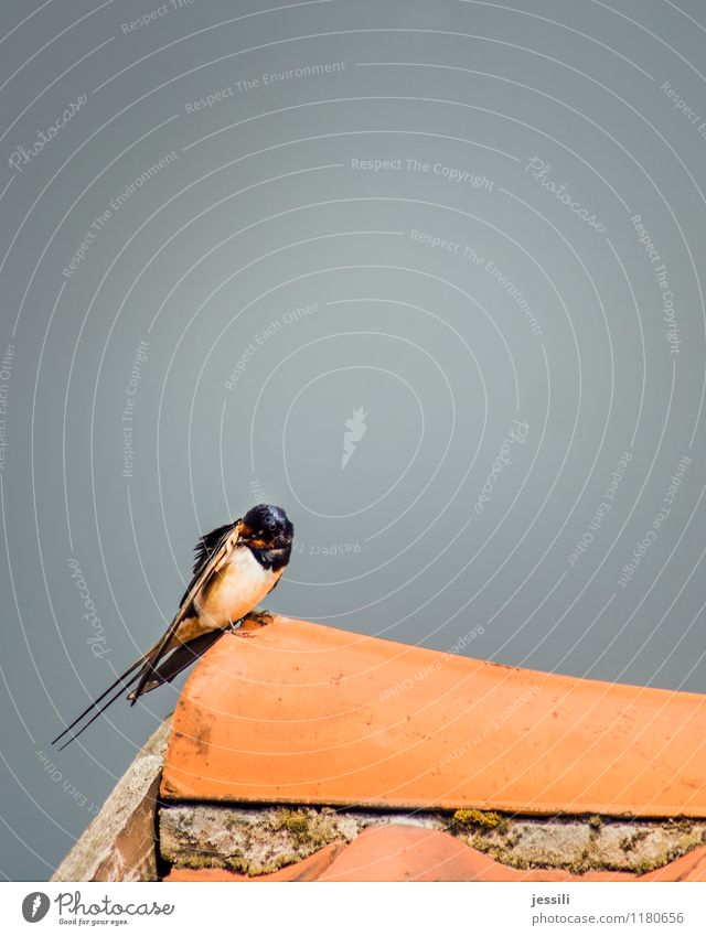 .. rausputz Vogel Flügel 1 Tier Sauberkeit orange schwarz weiß Philomela Rauchschwalbe Reinigen Schwalbenschwanz Anzug Frack Dachfirst Ziegeldach Scheune Feder