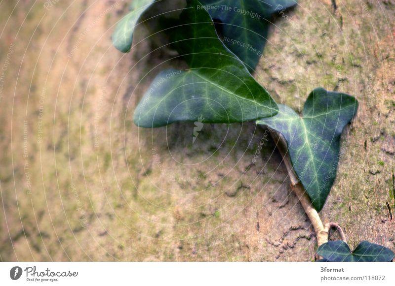 efeu Sträucher Baum Geäst Blatt Blüte Nieselregen feucht Trauer Märchen fantastisch träumen Verhext Einsamkeit trist November kalt Tau Morgen Nebel Herbst