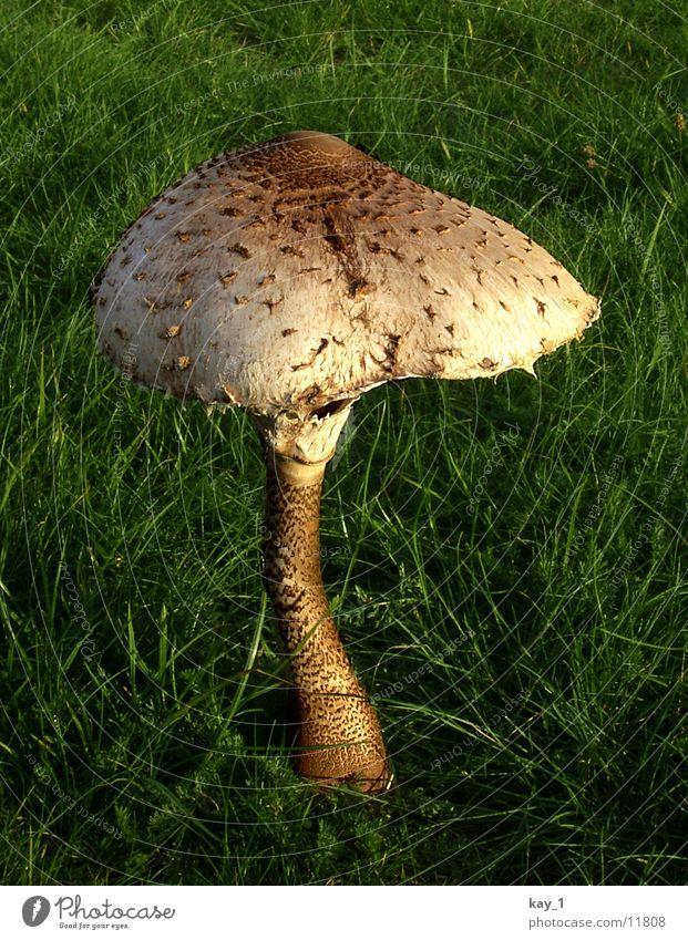 Ein Pilz im Grünen Pflanze Wiese nah Sonnenlicht Hut