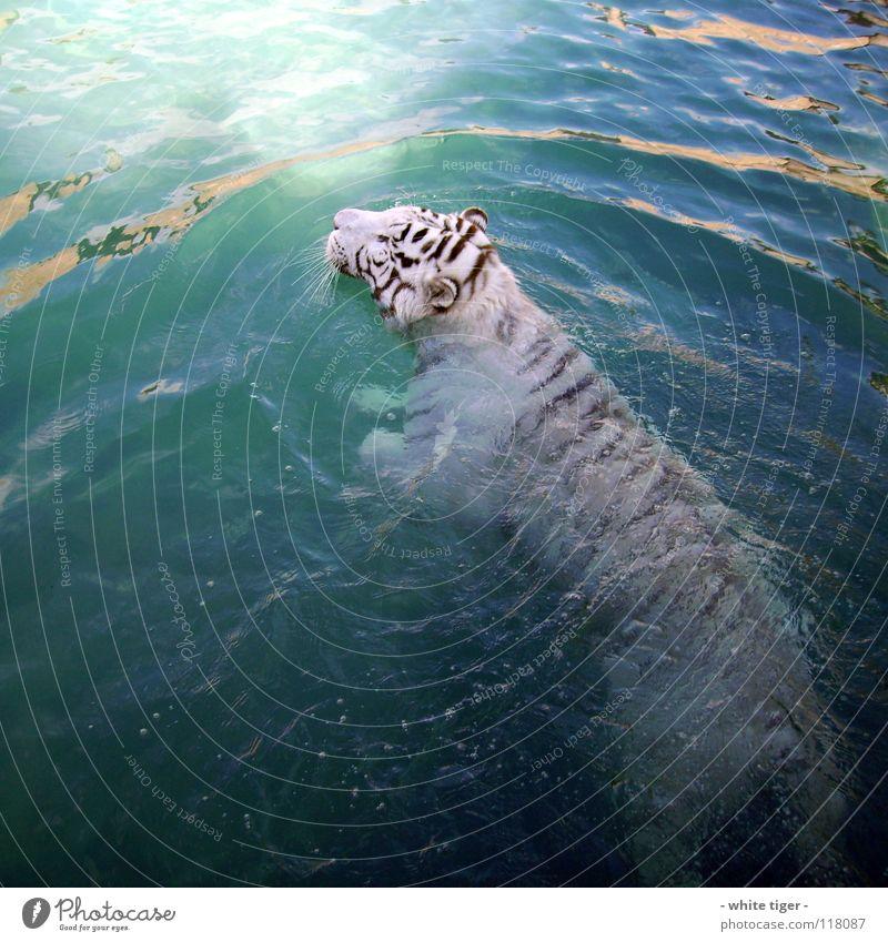 Nasse Katze Tier Wasser nass blau schwarz weiß Tiger Schnauze Farbfoto Außenaufnahme Tag Reflexion & Spiegelung Schwimmen & Baden Menschenleer 1