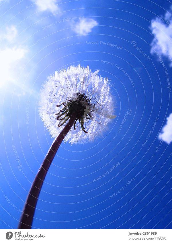 Sommer Blume Löwenzahn heiß schön Frühling Ferien & Urlaub & Reisen Wolken Physik Wiese lieblich träumen ruhig Himmel Sonne blau heis Wärme Blauer Himmel