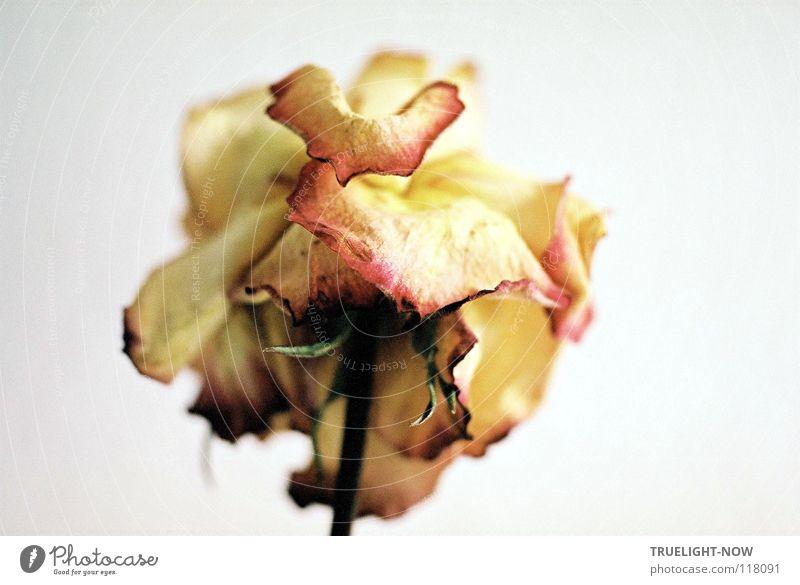 Ganz still 2 Natur schön weiß Blume ruhig Traurigkeit Tod Vergänglichkeit Trauer Symbole & Metaphern Rose rein tief Erinnerung poetisch stumm