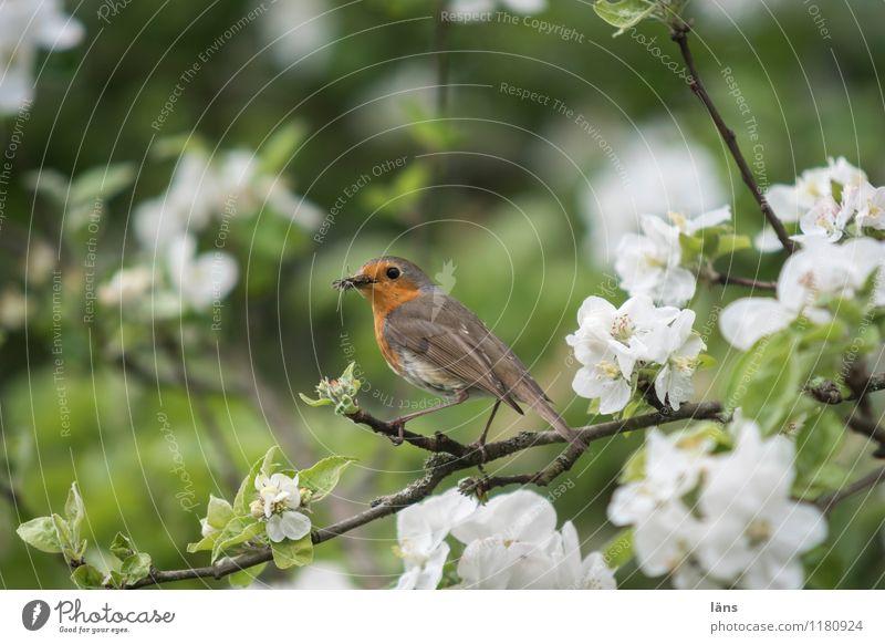 Frühling Baum Nutzpflanze Garten Vogel 1 Tier beobachten sitzen Neugier niedlich Frühlingsgefühle Erfolg Rotkehlchen Farbfoto Außenaufnahme Menschenleer