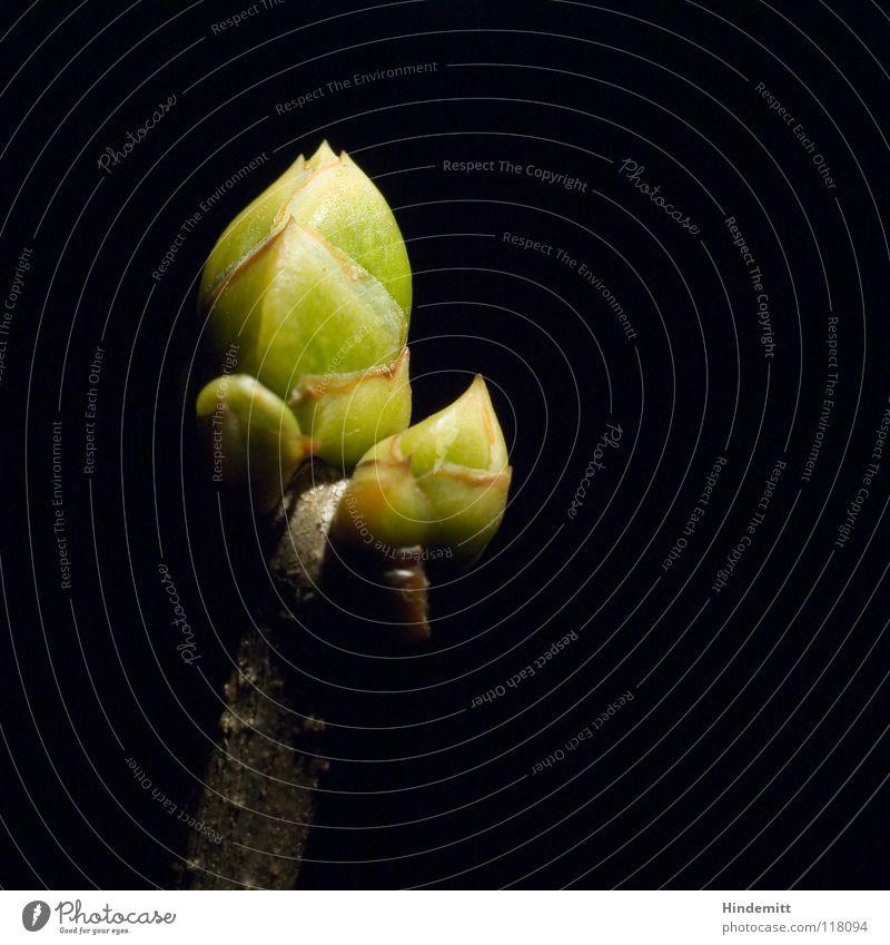 Frühlings Erwachen [05-01-2008] Fliederbusch Sommerflieder Winter zart grün braun schwarz Hoffnung Beleuchtung dramatisch Morgen Physik aufwachen neu Keim