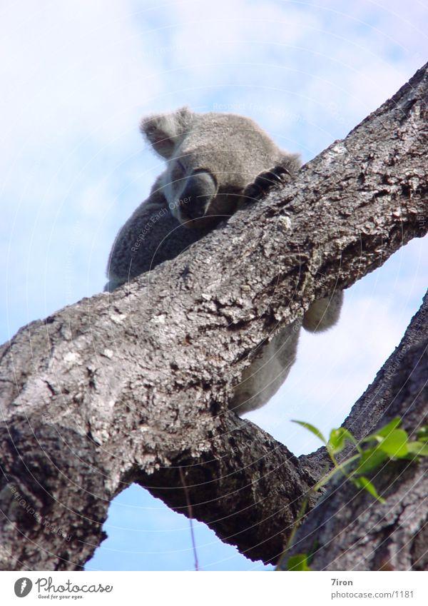Koala Bär Australien Beuteltiere
