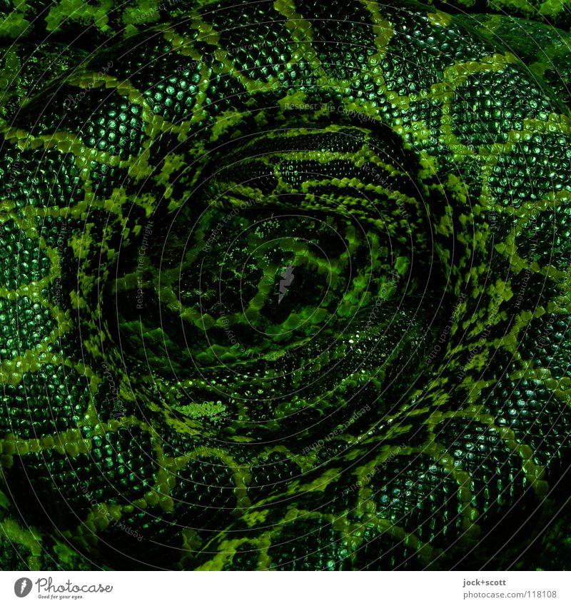 Anakonda Ring grün Erholung Tier dunkel liegen gefährlich bedrohlich rund Schlange Macht Schutz stark Wachsamkeit Brasilien Geborgenheit