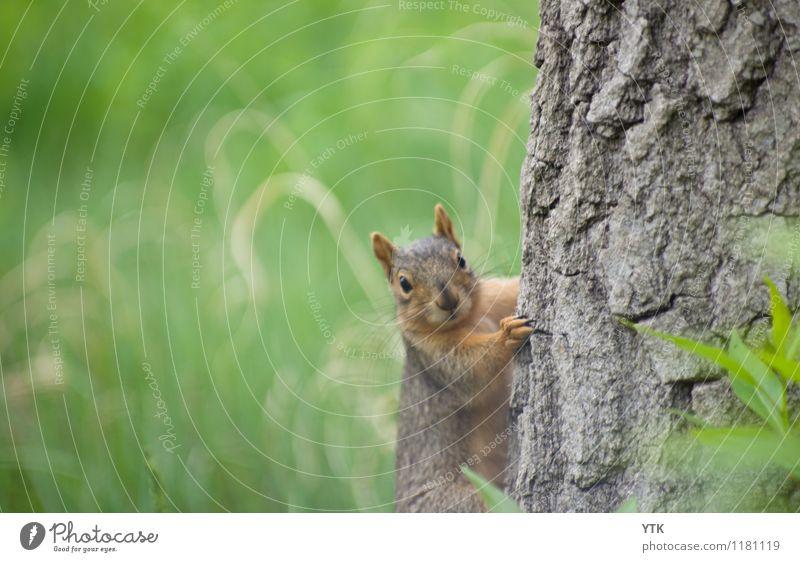 Du hast nichts gesehen! Umwelt Natur Landschaft Baum Gras Park Tier Wildtier Tiergesicht Fell Krallen Pfote 1 listig lustig rebellisch grün Eichhörnchen Ohr