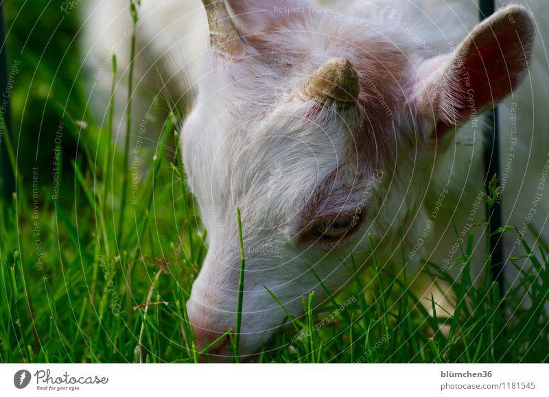 Boden- und Ackertag | Nutzungfläche Pflanze Frühling Sommer Gras Weide Wiese Tier Nutztier Tiergesicht Fell Ziegen Tierjunges Kopf Auge Ohr Horn Maul Fressen
