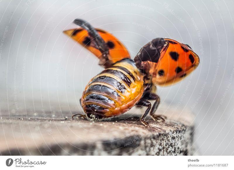 marienkäfer kurz vor abflug Umwelt Natur Tier Glück nachhaltig Optimismus Wachstum Ausschnitt Flügel Insekt Marienkäfer Unschärfe aufgefaltet frontal rot Käfer