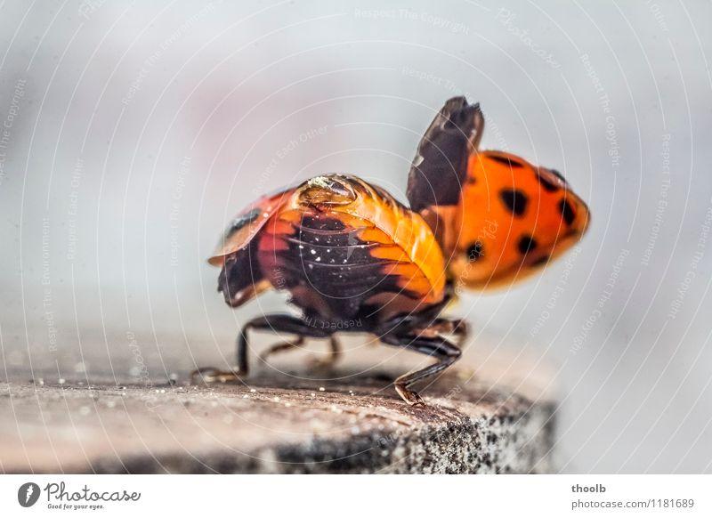 marienkäfer kurz vor abflug Glück Luftverkehr Umwelt Natur Tier Fliege Flügel klein natürlich Beginn Geometrie Glücksbringer Insekt Marienkäfer Punkt Abheben