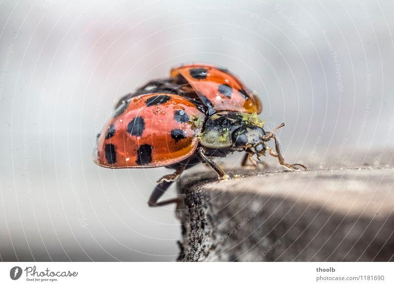 marienkäfer frontal Natur Tier Umwelt natürlich Glück klein fliegen Luftverkehr Fliege Flügel Beginn Punkt Tragfläche Insekt Flugzeugstart