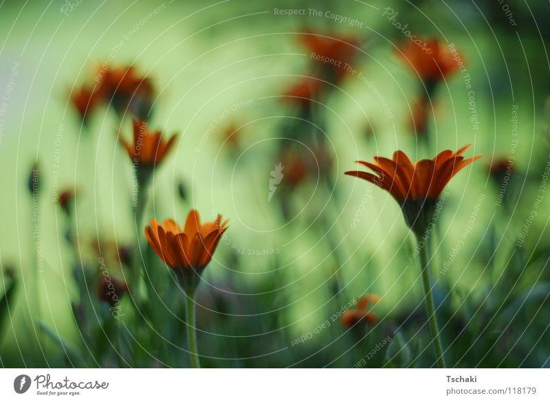 Flower Field Blume grün Unschärfe Sommer verwaschen weich zart gemalt Gemälde Pflanze orange Natur Erholung gesoftet
