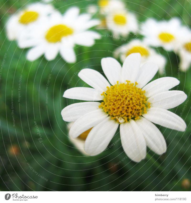 kamillecase Blume mehrfarbig Blüte Sommer Frühling schön Wachstum gedeihen Park Beet Blumenbeet Kamille Gänseblümchen Margerite Pflanze Farbe Freude flower