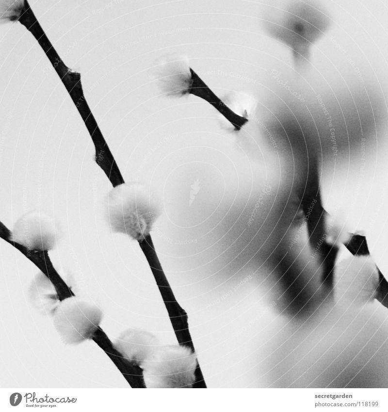 kätzchen auf der weide Weidenkätzchen Pflanze einfarbig schwarz weiß weich kuschlig Haptik Unschärfe schön geschmeidig zart Botanik niedlich süß Stillleben