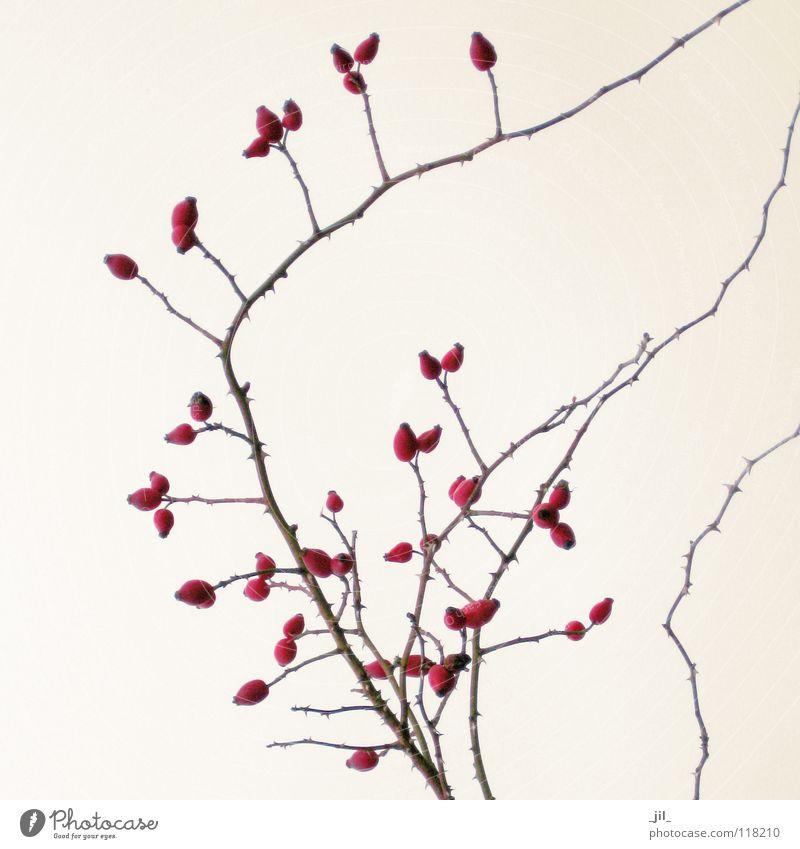 hagebuttenzweig rot Winter Leben braun Ast zart Zweig Rose stachelig geschwungen Hautfarbe