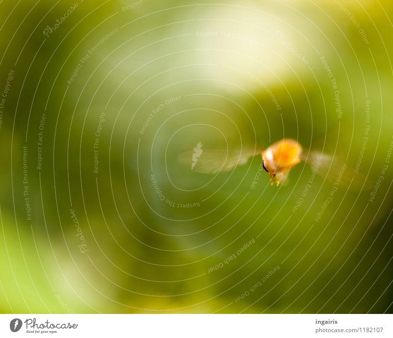 Fly away Natur Garten Tier Fliege Insekt Schwebfliege rennen Bewegung fliegen ästhetisch natürlich Geschwindigkeit grün orange weiß Stimmung Farbfoto