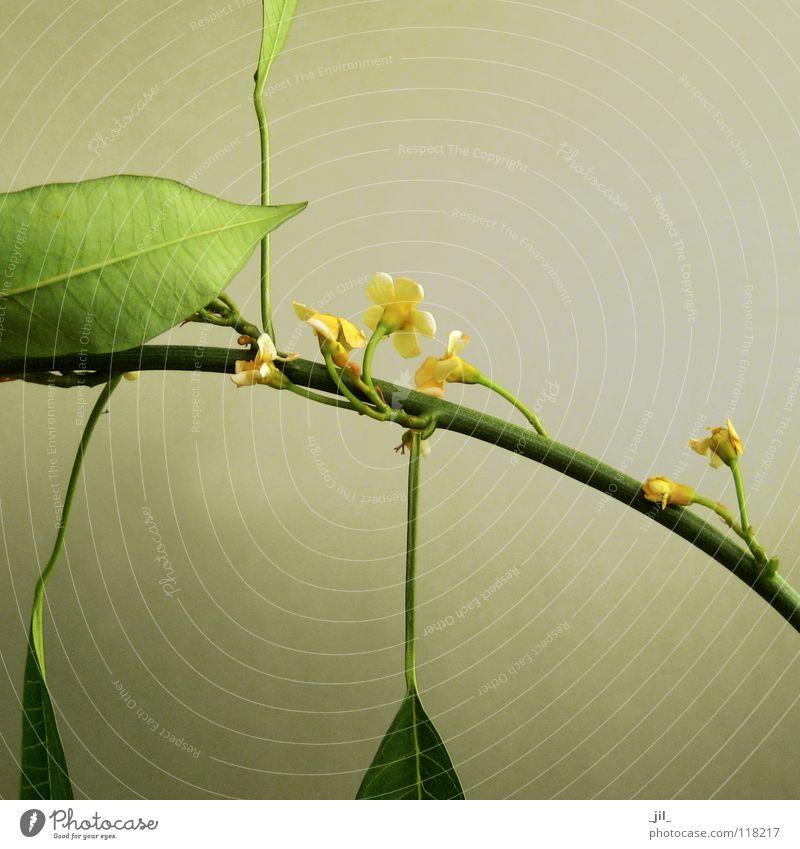tender blossom zart weich filigran Zärtlichkeiten Blume Blüte rein gelb grün khakigrün Frühling schön Strukturen & Formen blumenstiel Stengel khaki-grau