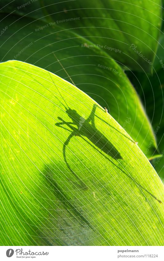 grashopper grün Insekt Sommer Tier Heuschrecke Schatten Natur