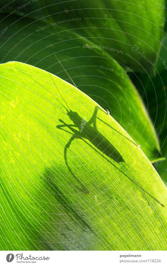 grashopper Natur grün Sommer Tier Insekt Heuschrecke