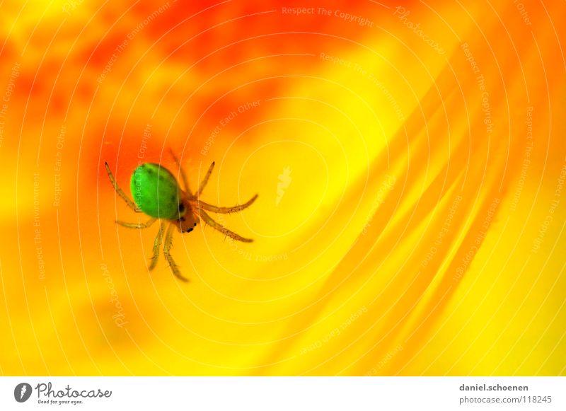 Spiderman Spinne Rhododendron abstrakt Blume Blüte Frühling Sommer grün gelb rot mehrfarbig gefährlich Gift Makroaufnahme Nahaufnahme Detailaufnahme orange
