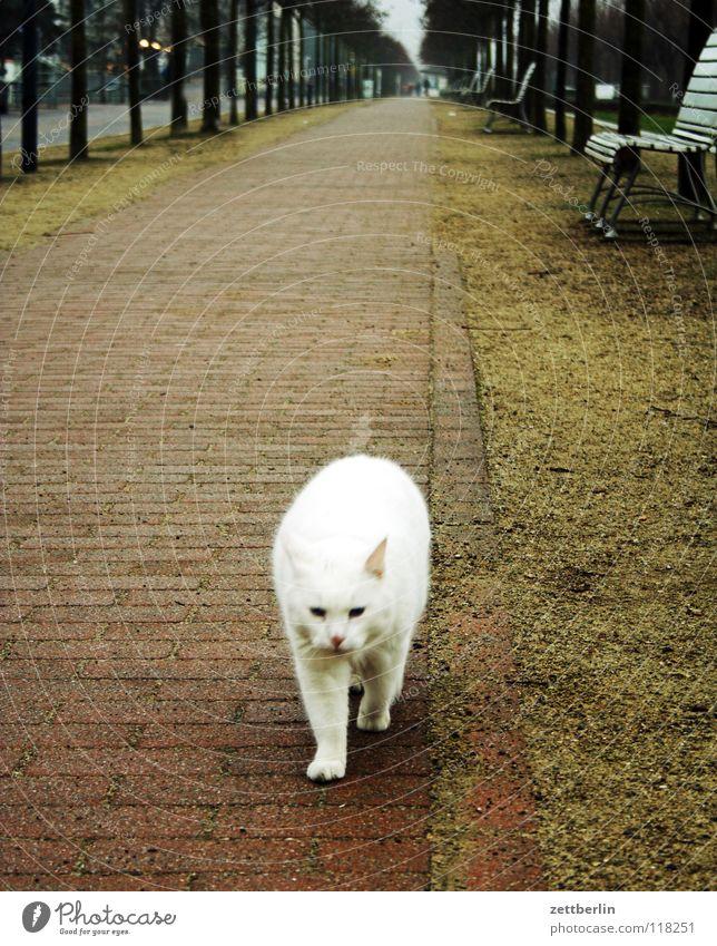 Katze weiß Baum Tier Wege & Pfade Sand Horizont Perspektive Bank Fell Vertrauen Bürgersteig Verkehrswege Haustier Säugetier Allee