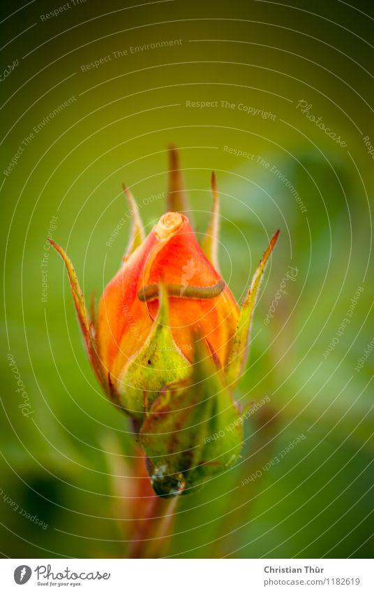 Rose elegant Umwelt Natur Pflanze Tier Sonne Sonnenlicht Frühling Sommer Schönes Wetter Blatt Blüte Garten Park Wiese beobachten Blühend Duft ästhetisch
