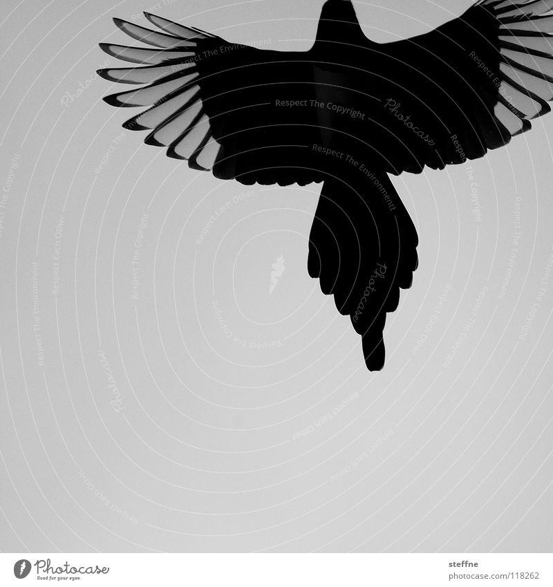 Rise of the PHOENIX Vogel Elster schwarz weiß Aerodynamik Herbst kalt ruhig Einsamkeit Feder Dieb entwenden Rabenvögel auferstehen Schwanz Krähe Kraft