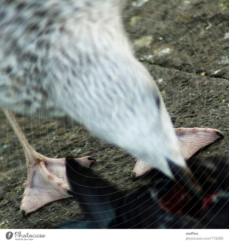 Möwe IV: Zuschlagen Natur weiß Vogel Feder Appetit & Hunger Fressen Schnabel Bildausschnitt Futter Anschnitt Überleben Tier Lachmöwe Schwimmhaut Möwenvögel