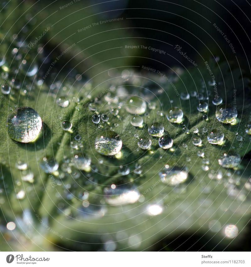 Frauenmantel mit Lotuseffekt und Lichtspiegelung hydrophob Frauenmantelblatt Frühlingsregen Regen Regentropfen April Aprilwetter Lichtreflexe Lichteinfall