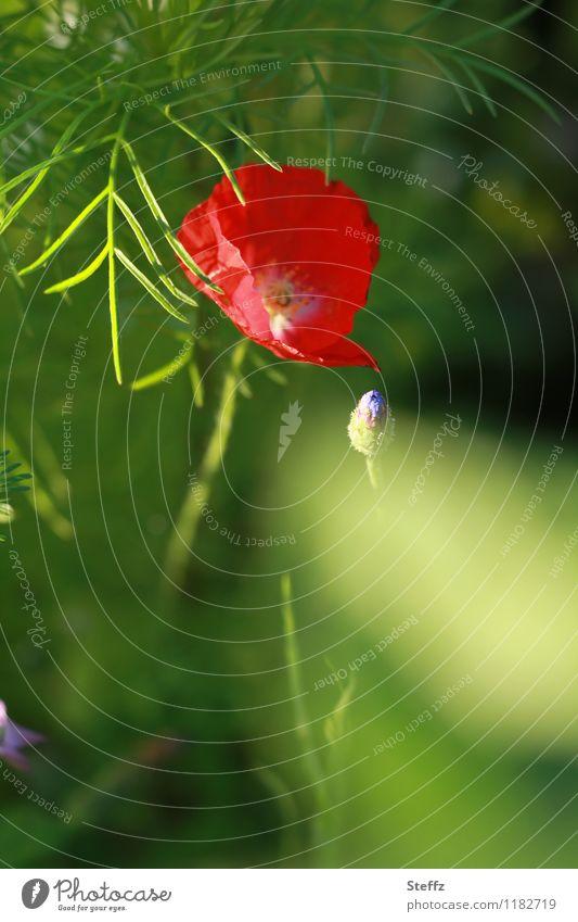 alles blüht Natur Pflanze schön grün Sommer Blume rot Blüte natürlich Idylle Blühend Romantik Mohn Blütenknospen Blütenblatt sommerlich