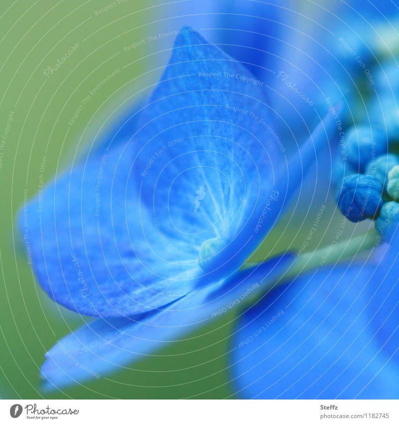 blau blüht die Hortensie blaue Hortensie Hortensienblüte blühende Hortensie blaue Blume Hortensienknospen Hydrangea Gartenhortensie Blütenknospen Juli