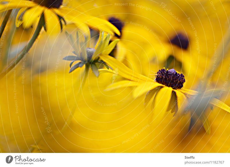 Ganz in Gelb Natur Pflanze schön Farbe Sommer Blume gelb Blüte Garten Textfreiraum Blühend Blütenblatt Stauden sommerlich Sonnenhut Sommerblumen
