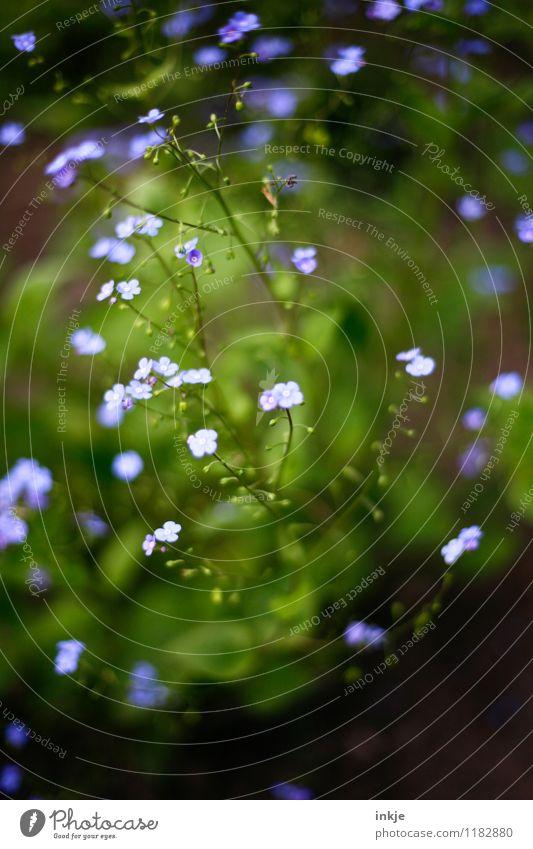 vergissmeinnicht Natur Pflanze Frühling Sommer Blume Blüte Vergißmeinnicht Garten Blühend klein blau grün Farbfoto Außenaufnahme Nahaufnahme Makroaufnahme