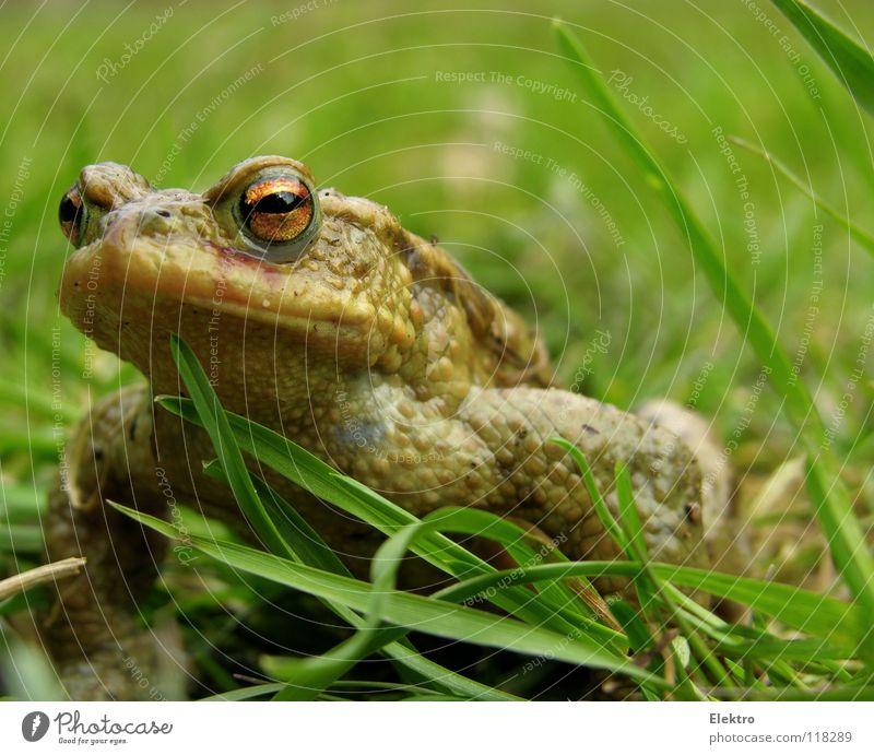 Der Froschkönig Hand Auge Tier Wiese springen Gras Frühling braun Feld wandern Küssen fangen Jagd Ekel gefangen